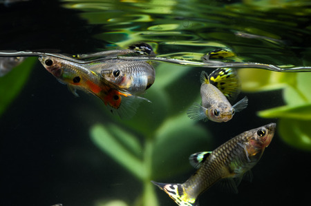 Guppy Multi Colored Fish in a Tropical Acquarium Stock Photo - 26121615