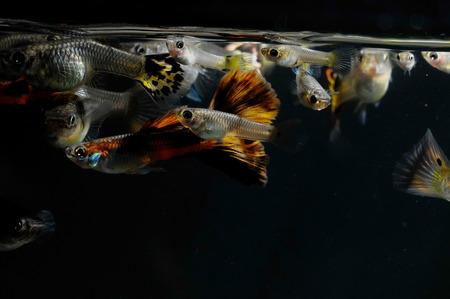 Guppy Multi Colored Fish in a Tropical Acquarium