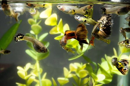 Guppy Multi Colored Fish in a Tropical Acquarium Stock Photo - 26178065