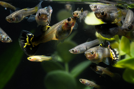 Guppy Multi Colored Fish in a Tropical Acquarium Stock Photo - 26225162
