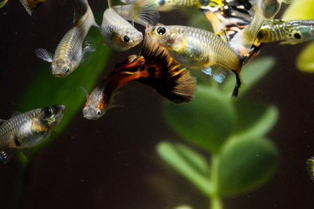 Guppy Multi Colored Fish in a Tropical Acquarium Stock Photo - 26225534