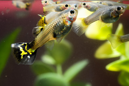 Guppy Multi Colored Fish in a Tropical Acquarium Stock Photo - 26288678