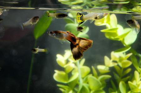 Guppy Multi Colored Fish in a Tropical Acquarium Stock Photo - 26302991