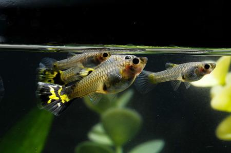 Guppy Multi Colored Fish in a Tropical Acquarium Stock Photo - 26302998