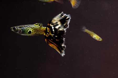 Guppy Multi Colored Fish in a Tropical Acquarium photo