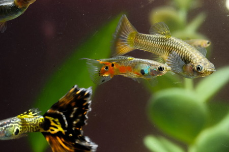 Guppy Multi Colored Fish in a Tropical Acquarium Stock Photo - 26303049