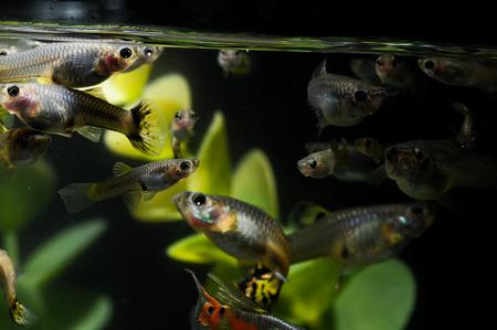 Guppy Multi Colored Fish in a Tropical Acquarium Stock Photo - 26303068