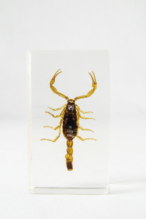 taxonomy: Pickled Golden Scorpion preserved in Formaldehyde on a White Background
