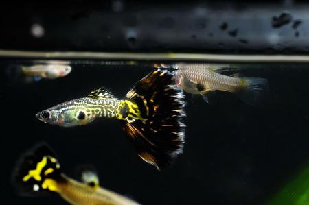 guppy: Guppy Multi Colored Fish in a Tropical Acquarium