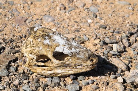 canary islands: Canarian Dry Lizard Skull Bone in the Desert