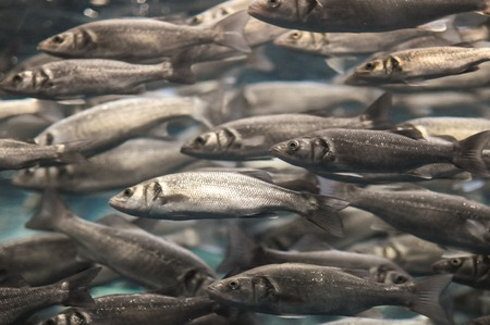 Underwater School of Silver Gray Fish in Aquarium photo