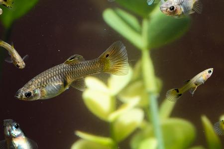 Guppy Multi Colored Fish in a Tropical Acquarium Stock Photo - 27089007