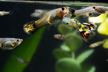 Guppy Multi Colored Fish in a Tropical Acquarium Stock Photo - 27089069