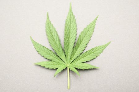 marihuana leaf: Verde fresco Hoja de Marihuana con Siete consejos Foto de archivo