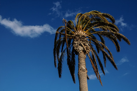 Palm Tree Blowing In The Wind Tenerife Canary Islands Spain photo