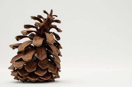 ponderosa pine: Pinus Ponderosa Pine Tree Pinecone on a white  Stock Photo