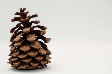 ponderosa pine: Pinus Ponderosa Pine Tree Pinecone on a white Background