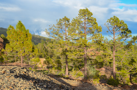 Pine Woods Forest in Tenerife Canary Islands Spain photo