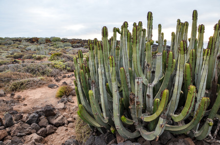 Cactus in the Desert at Sunset Tenerife South Canary Islands Spain photo