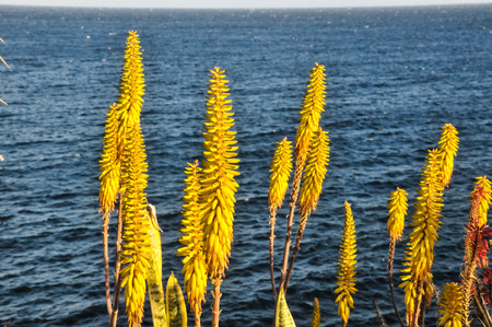 Flowers Of The Aloe Vera Plant on a Water Background photo