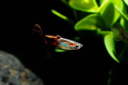Guppy Multi Colored Fish in a Tropical Acquarium Stock Photo - 27720693