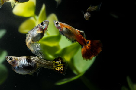 Guppy Multi Colored Fish in a Tropical Acquarium Stock Photo - 27721123