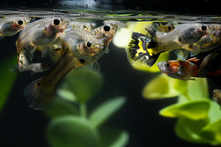 Guppy Multi Colored Fish in a Tropical Acquarium Stock Photo - 27805203