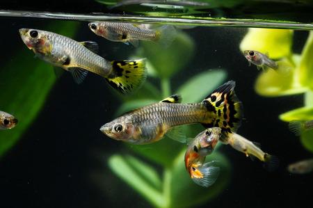 Guppy Multi Colored Fish in a Tropical Acquarium Stock Photo - 27805620
