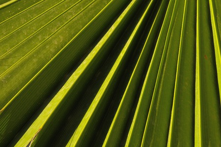 Lines and Textures of a Green Palm Leaf photo