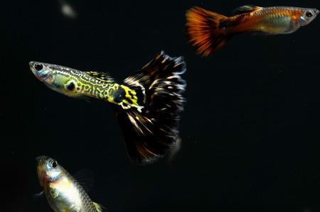 Guppy Multi Colored Fish in a Tropical Acquarium Stock Photo - 27841575