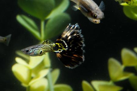 Guppy Multi Colored Fish in a Tropical Acquarium Stock Photo - 28115102
