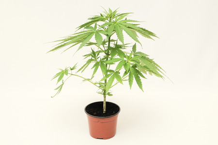 Young Green Cannabis Indica Marijuana plant Standard-Bild