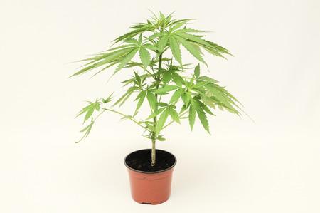Young Green Cannabis Indica Marijuana plant photo