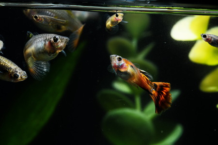 Guppy Multi Colored Fish in a Tropical Acquarium Stock Photo - 28699289