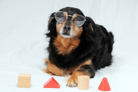 One Old Female Black Dog Doing an IQ Test photo