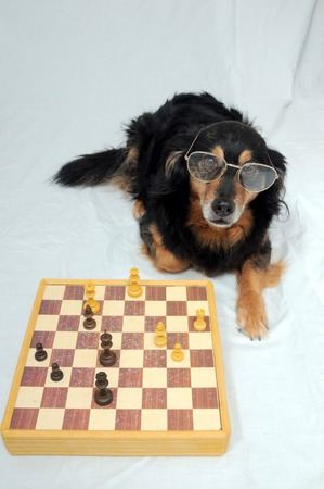 One Smart Black Dog Playing Chess on a White Background photo