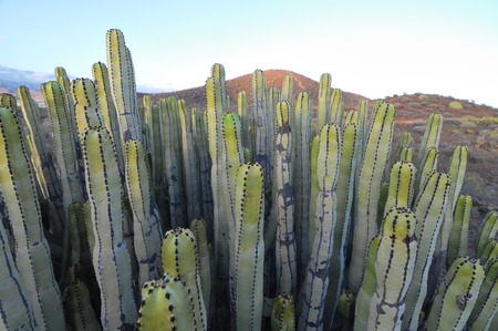 Succulent Plant Cactus on the Dry Desert at Sunset photo