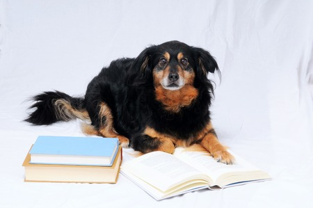 One intelligent Black Dog Reading a Book on a White  photo