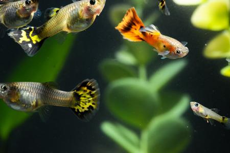 Guppy Multi Colored Fish in a Tropical Acquarium Stock Photo - 28968703
