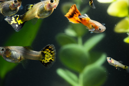 Guppy Multi Colored Fish in a Tropical Acquarium Stock Photo - 28968703