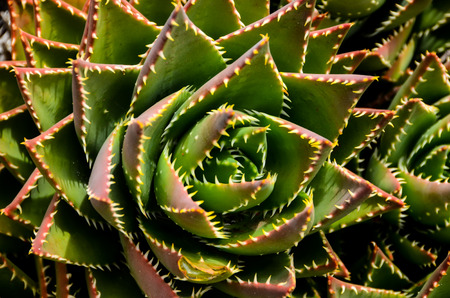 canarian: Green Succulent Flower of a Cactus Plant Stock Photo