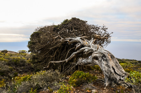 Gnarled Juniper Tree Shaped By The Wind at El Sabinar, Island of El Hierro photo