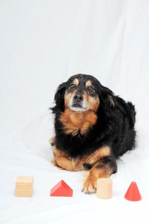 One Old Female Black Dog Doing an IQ Test photo