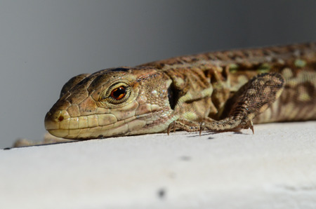Close up Portrait in Macro of a Common Lizard i photo