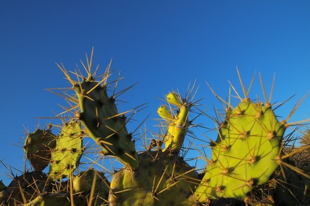 Green Prickly Pear Cactus Leaf in the Desert photo