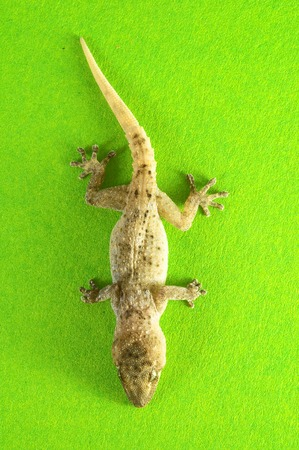 Small Gray Gecko Lizard on a Colored Background Stock Photo