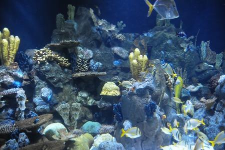 tropical acquarium: Underwater Fishes in a Blue Tropical Acquarium Stock Photo