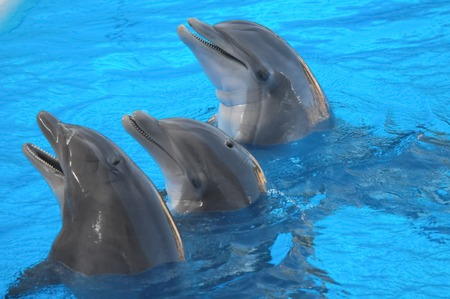 Funny Dolphins Swimming on a very Blue Water photo