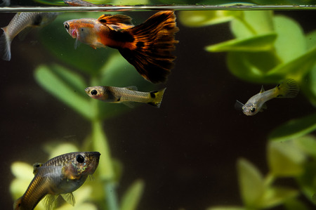 Guppy Multi Colored Fish in a Tropical Acquarium Stock Photo - 29404420