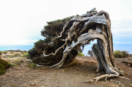 Gnarled Juniper Tree Shaped By The Wind at El Sabinar, Island of El Hierro photo